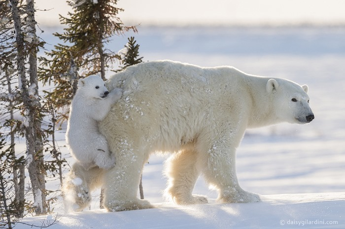 Bear Piggybacking